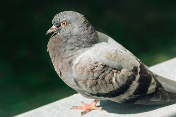 Closeup photo of Feral Pigeon. City dove