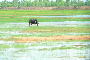 Photo sur Aluminium Buffalo Single black Asia buffalo eating grass in green field have water have bird around in Thailand