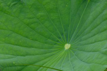 Lotus leaves bright green The large leaves of many benefits. use for background