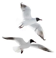 small cutout two flying black-headed gulls
