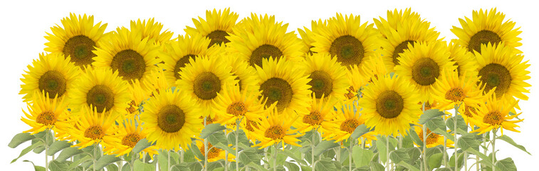 large group of sunflowers isolated on white