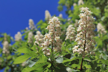spring flower salute/ many bouquets on the branches of a chestnut tree
