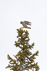 Bohemian Waxwing in a pine tree under bright grey sky with copy space for text