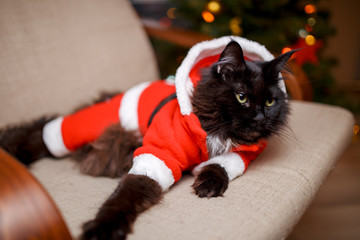Photo of New Year's cat in Santa's costume