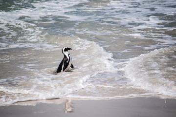 Pinguin im Meer