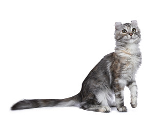Smiling silver tortie American Curl cat kitten sitting side ways isolated on white background with one paw lifted in air and looking up