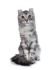 Smiling silver tortie American Curl cat kitten sitting straight up facing camera isolated on white background and looking in lens