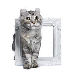 Smiling silver tortie American Curl cat kitten standing throught white picture frame isolated on white background and looking beside lens