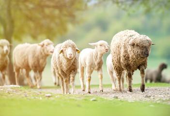 Flock of sheep walking