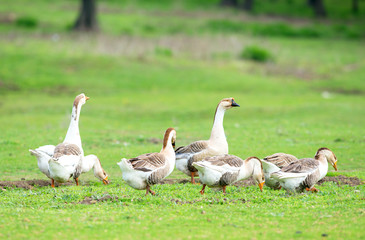 Group of domestic goose (Anser  domesticus) in meadow.