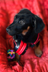 The dog listens to music on headphones