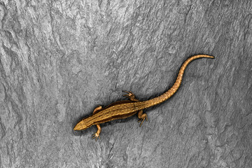 Bronze Lizard Lying on White Stone Background with Free Space. Sharp and Macro View of Lizard from Above