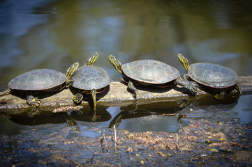 Turtles on a branch in the water