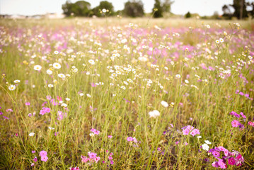 Spring purple wild flower field. Filled with purple flowers in southern Florida in April.