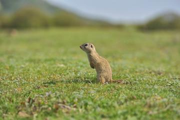 European ground squirrel standing in the grass. (Spermophilus citellus) Wildlife scene from nature. Ground squirrel on meadow