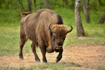 European bison (Bison bonasus) in forest, spring time Slovakia.
