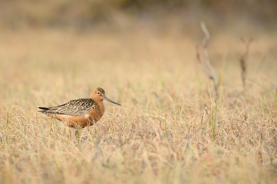 The male of the Bar-tailed Godwit (Limosa lapponica)