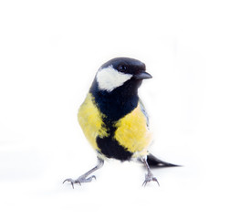 Great tit favorite bird of citizens of Europe
