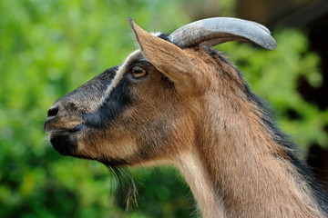 Male African pygmy goat