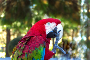 Colorful parrot macaw keeps his paw in the beak, closeup