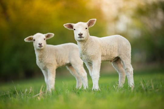 cute little lambs on fresh green meadow
