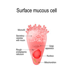 surface mucous cell