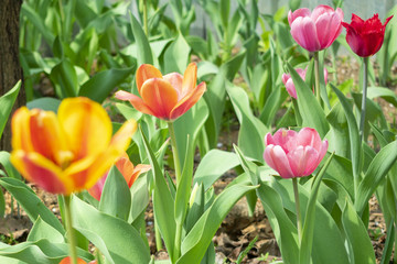 Flowering in the spring in a garden on a flower-bed multicolored tulips