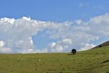 Nelore cattle grazing on top of green hill