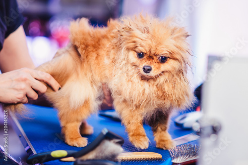 Female Groomer Haircut Pomeranian Dog With Red Hair Like A Fox On