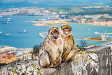 closeup of a pair of macaques, male and female in a reserve on the Gibraltar peninsula