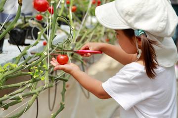 ミニトマトを摘む幼児(3歳児)