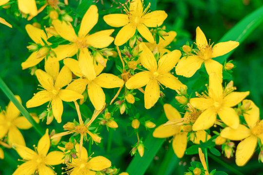 Hypericum perforatum flowers close-up (Yellow St. John's Wort).