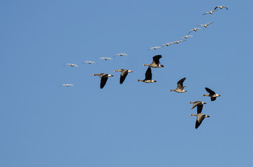 Greater White-Fronted Geese Flying Among the Snow Geese
