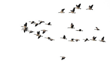Large Flock of Canada Geese Flying on a White Background