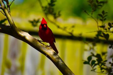 Cardinal Red Bird