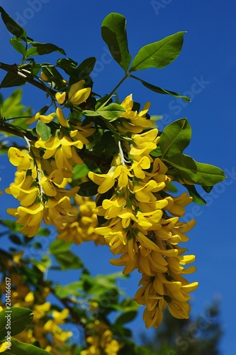 Bright yellow cluster of flowers of common laburnum also called bright yellow cluster of flowers of common laburnum also called golden chain or golden rain mightylinksfo