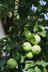 apple tree branch with green apple fruits, stock photo