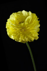 One yellow buttercup flower on a black background