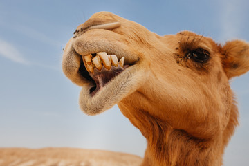 Camel in Israel desert, funny close up Wall mural