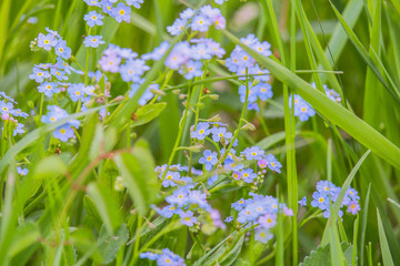 Nice forget-me-not in grass, macro photo