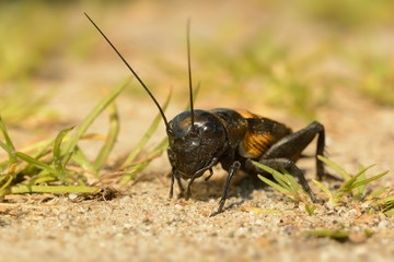 Field cricket - Gryllus campestris