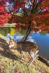 秋の奈良公園の鹿
