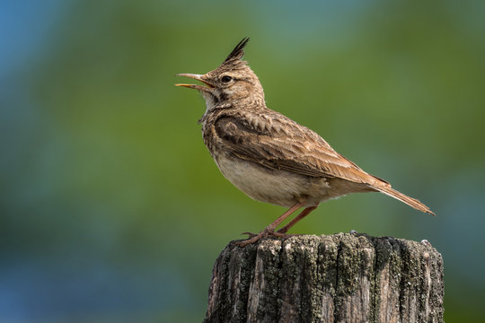Galerida cristata - Crested Lark sitting on the ground and looking for food