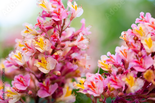 Pink chestnut tree aesculus carnea or red horse chestnut pink chestnut tree aesculus carnea or red horse chestnut blossoming flowers mightylinksfo