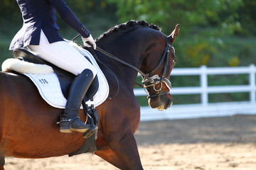 Horse brown in portraits during a dressage test, taken from diagonally behind in the neck in a gallop..