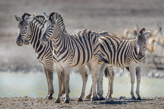 Burchell's Zebras (Equus burchelli), group standing at waterhole, Etosha National Park, Namibia, Africa
