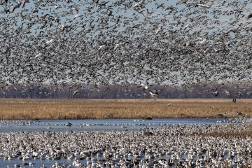 Fall migration of snow geese (Chen caerulescens), Loess Bluffs National Wildlife Refuge, Missouri, USA, North America