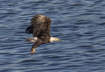 Bald eagle (Haliaeetus leucocephalus) with a caught fish at Mississippi River, Iowa, USA, North America