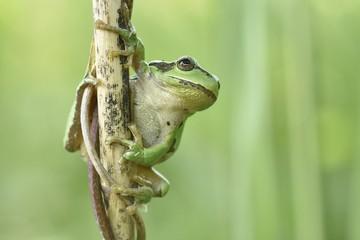 European tree frog sits on reed stem