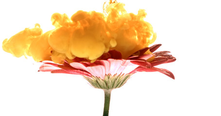Colorful paint cloud spraying on beautiful flower on white background.